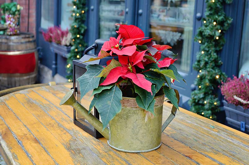 A close up horizontal image of a Euphorbia pulcherrima plant with bright red bracts planted in a metal watering can and set on a wooden surface with a home decorated with Christmas lights in the background in soft focus.