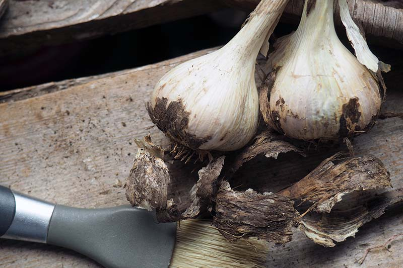 A close up horizontal image of two garlic bulbs set on a wooden surface for cleaning, with a paintbrush in the foreground.