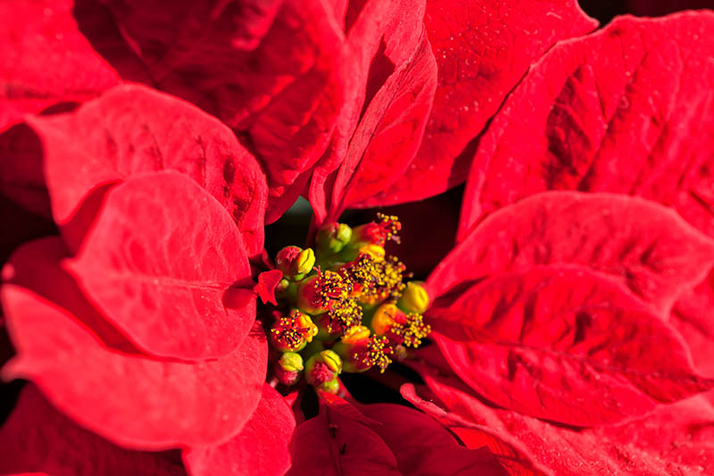 A close up horizontal image of a Euphorbia pulcherrima plant with buds open and producing pollen, surrounded by red colorful modified leaves.