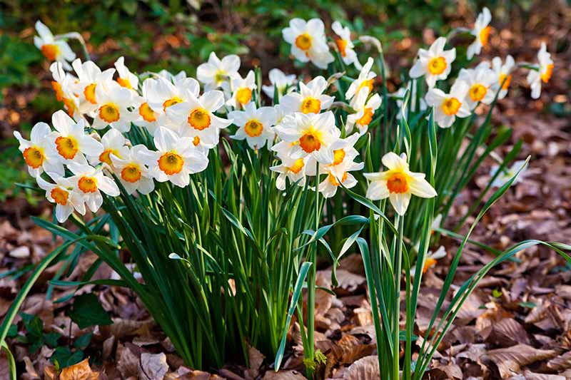 A close up horizontal image of a clump of spring daffodils surrounded by fallen leaves, pictured in light sunshine on a soft focus background.