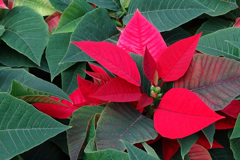 A close up horizontal image of the foliage of Euphorbia pulcherrima plant with red bracts surrounded by green leaves.