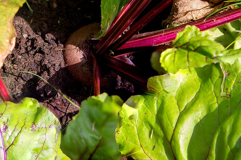 A close up horizontal image of a beet plant growing in the garden suffering from an unidentified disease on the foliage, pictured in bright sunshine.
