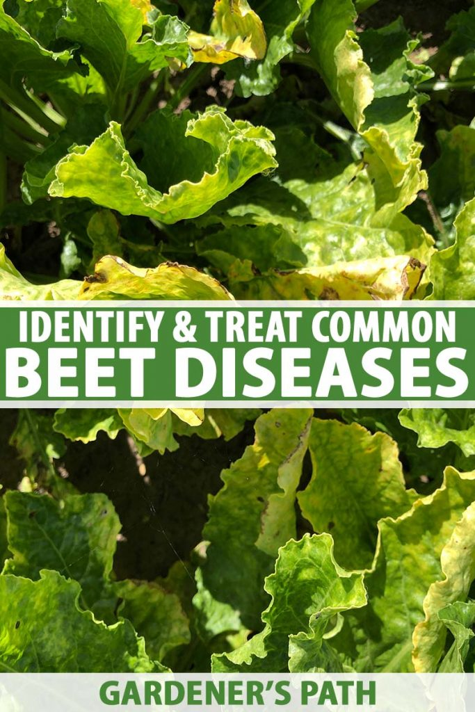 A close up vertical image of the foliage of beet plants growing in the garden suffering from an unidentified disease causing them to turn yellow and wilt, pictured in bright sunshine. To the center and bottom of the frame is green and white printed text.