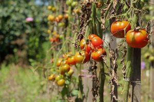 How To Identify, Prevent, and Treat Common Tomato Diseases