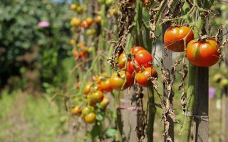 A horizontal image of tomato plants suffering from disease and starting to die off, pictured in bright sunshine fading to soft focus in the background.