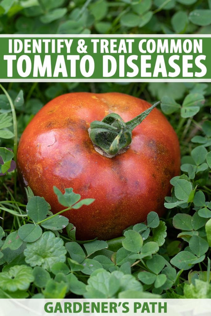 A close up vertical image of a large tomato suffering from a disease that has caused it to go black and start to rot. To the top and bottom of the frame is green and white printed text.
