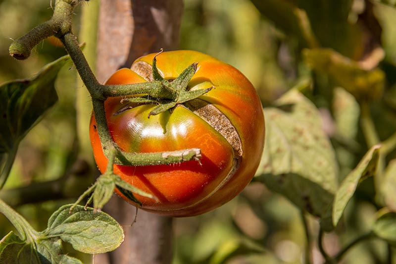 A close up horizontal image of a ripe tomato growing on the vine with a large crack in its surface, pictured in bright sunshine on a soft focus background.