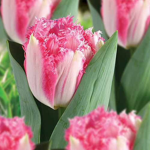 A close up square image of 'Crispion Love' a variety of fringed tulip, growing in the garden surrounded by foliage on a soft focus background.