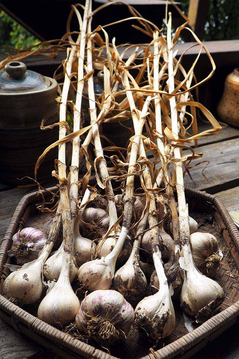 A close up vertical image of a wicker basket containing homegrown softneck garlic bulbs with the stems still attached, set on a wooden surface.