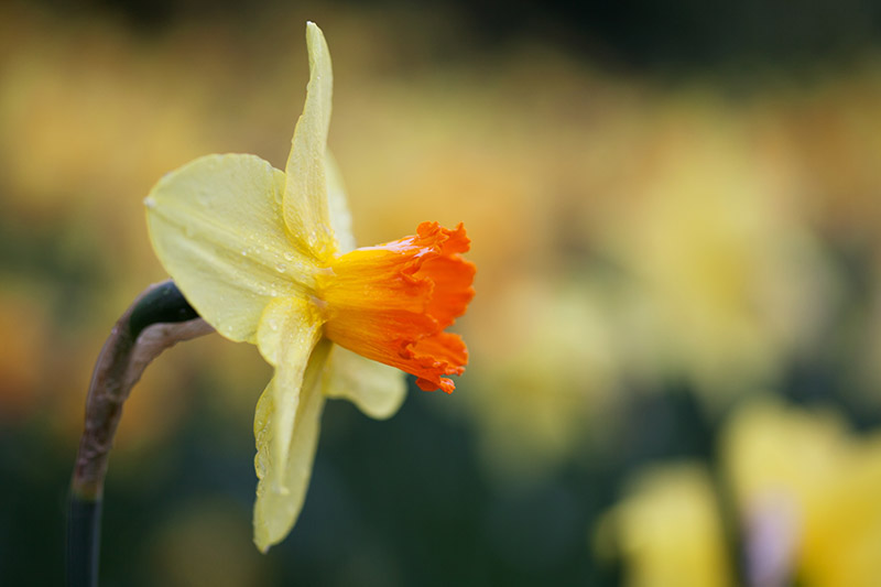 A close up horizontal image of a small yellow and orange flower pictured on a soft focus background.