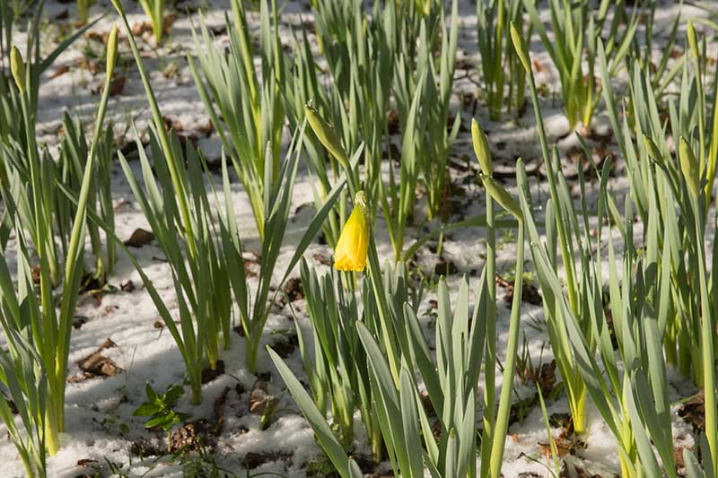 A close up horizontal image of a snowy garden with spring bulbs developing.