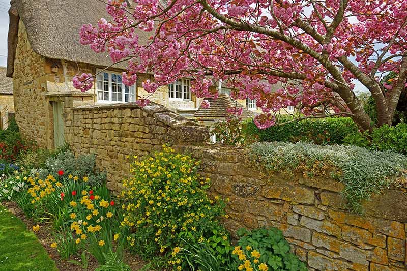 A horizontal image of a thatched cottage with a stone wall and a garden border planted with spring blooming bulbs, with a magnolia tree in the background.