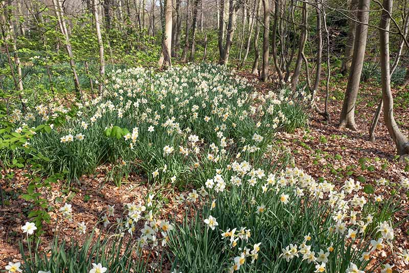A horizontal image of a woodland setting with trees, shrubs, and spring-flowering bulbs surrounded by fallen leaves.