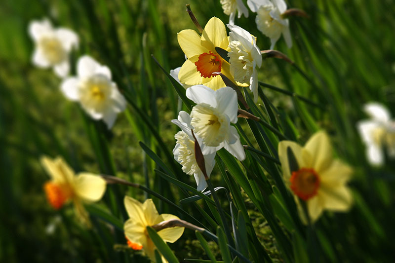 A close up horizontal image of white and yellow narcissus flowers growing in the garden in filtered sunshine pictured on a soft focus background.