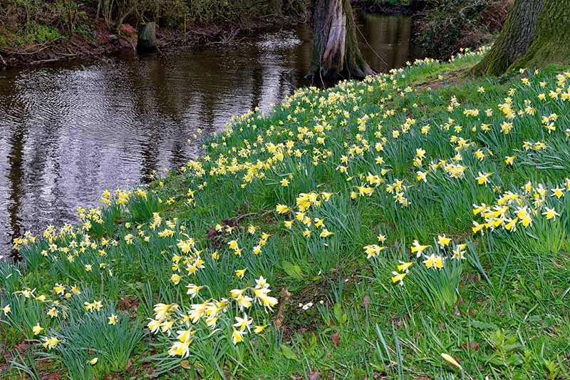 A horizontal image of a riverbank flanked with trees and yellow spring flowers.