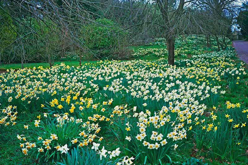 A horizontal image of a roadside border planted with trees and perennial shrubs, with clumps of naturalized daffodils blooming in springtime.