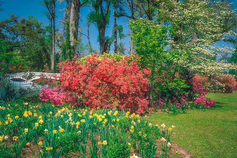 A horizontal image of a spring garden planted with azaleas and spring-flowering bulbs, with trees and blue sky in the background.