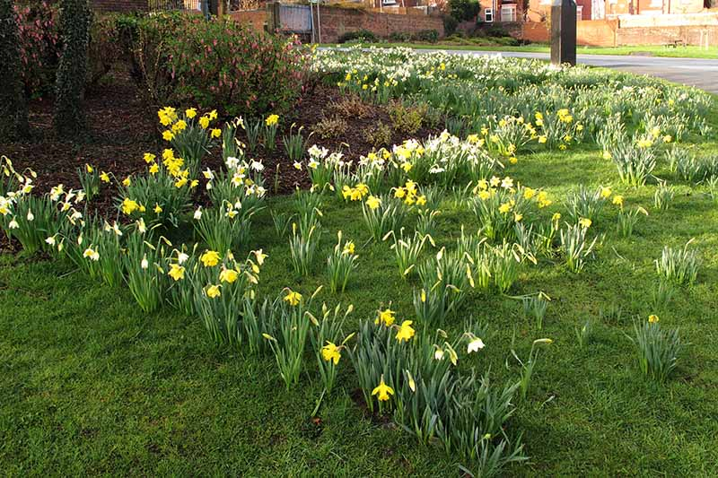 A horizontal image of a roadside border with perennial shrubs, grass, and daffodils blooming in the spring sunshine. In the background are red brick houses in soft focus.