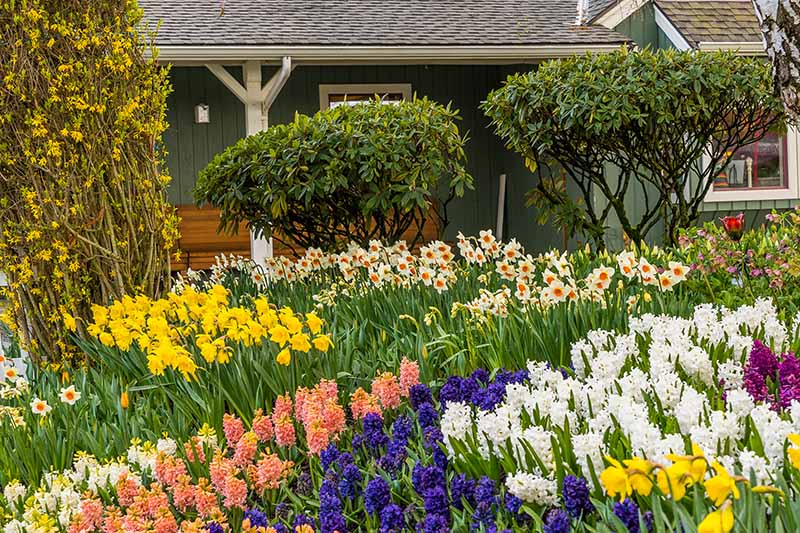 A horizontal image of a garden with various spring-flowering bulbs in full bloom outside a home with various shrubs in the background.