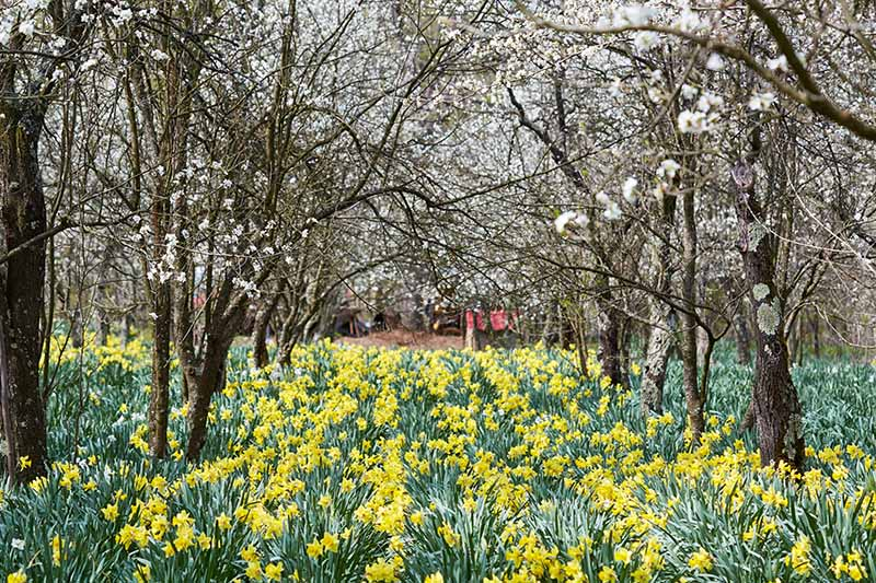 A horizontal image of an orchard with a large swath of yellow flowers growing underneath the trees.