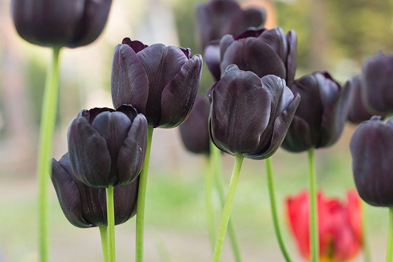 A close up horizontal image of deep purple, almost black Triumph tulips growing in the garden, pictured on a soft focus background.