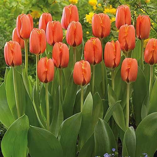 A close up square image of 'Darwi Orange' tulips growing in the garden with foliage in soft focus in the background.