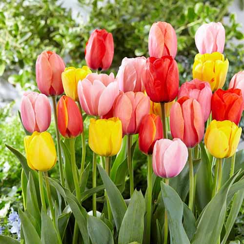 A close up square image of multicolored Darwin Hybrid tulips growing in the spring garden with foliage in soft focus in the background.