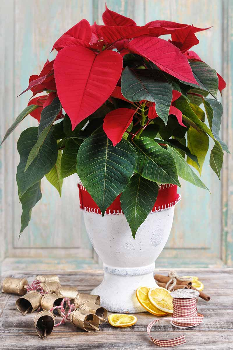 A close up vertical image of a Euphorbia pulcherrima plant growing in a white ceramic pot with a red ribbon around it. Set on a wooden surface, there are Christmas decorations scattered around.