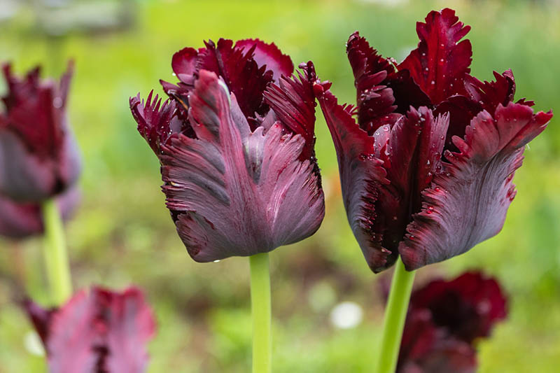 A close up horizontal image of deep purple 'Black Parrot' tulips growing in the garden pictured on a soft focus background.