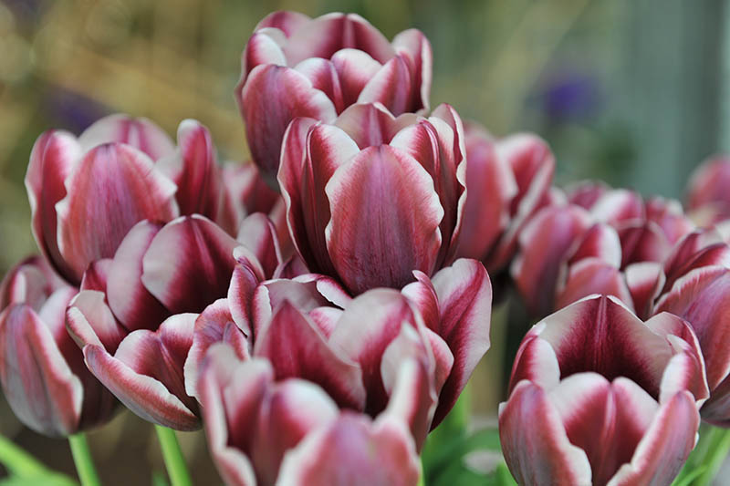 A close up horizontal image of deep maroon and white Triumph tulips growing in the garden, pictured on a soft focus background.