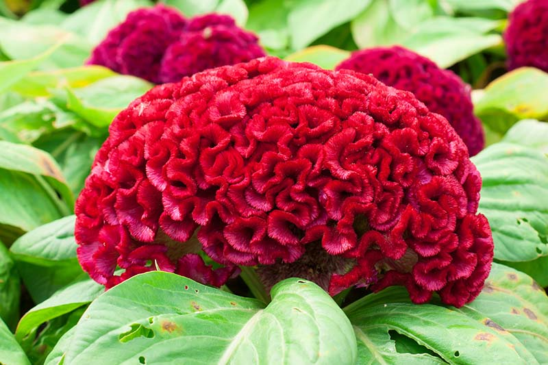 A close up horizontal image of a red cockscomb flower blooming in the garden surrounded by foliage.