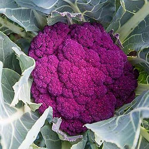A close up square image of a purple cauliflower head of the cultivar 'Depurple' growing in the garden surrounded by foliage.