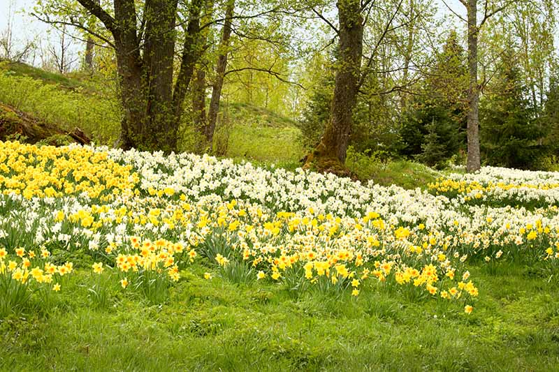 A horizontal image of a field with large trees and a large swath of narcissus flowers growing naturally with trees and shrubs in soft focus in the background.