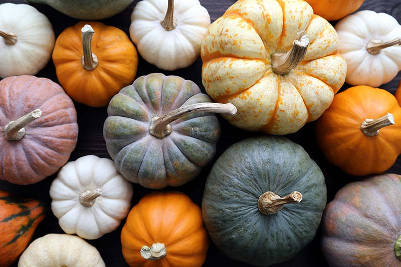 A close up horizontal image of different colored ripe gourds pictured from above.
