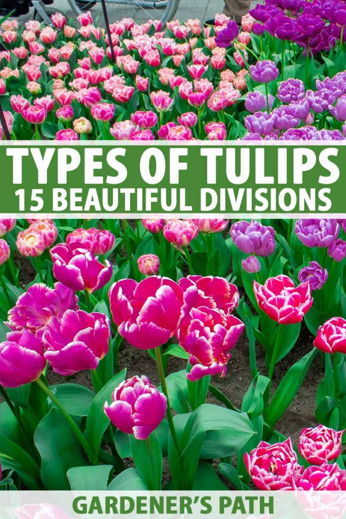 A close up vertical image of different colored varieties of tulips. To the top and bottom of the frame is green and white printed text.