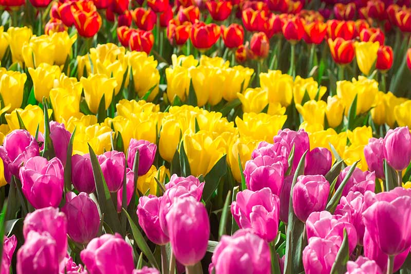 A close up of red, yellow, and pink tulips growing in the garden pictured in bright sunshine.