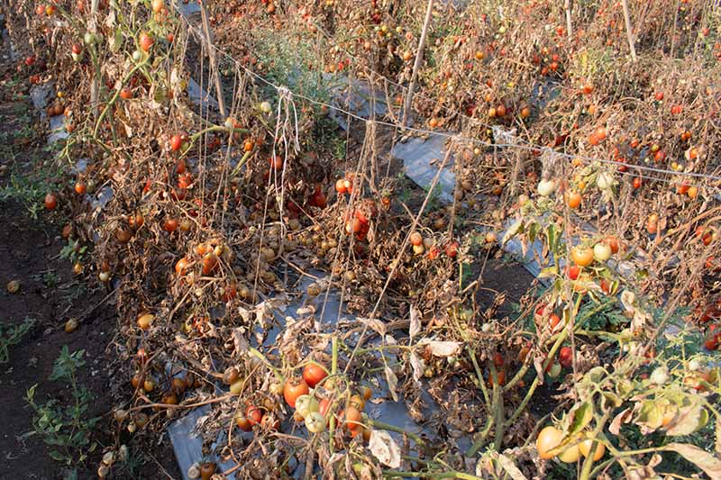 A horizontal image of a garden with diseased tomato plants withering and dying, pictured in bright sunshine.