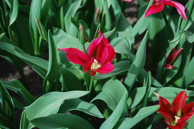 A close up horizontal image of a bright red tulip growing in the garden, surrounded by foliage and pictured in bright sunshine.