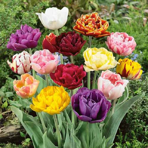 A close up square image of a clump of different colored Double Late tulips growing in the garden pictured on a soft focus background.