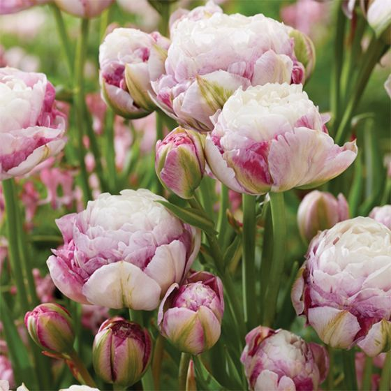A close up square image of 'Double Surprise' peony tulips with pink and white blossoms growing in the garden pictured on a soft focus background.