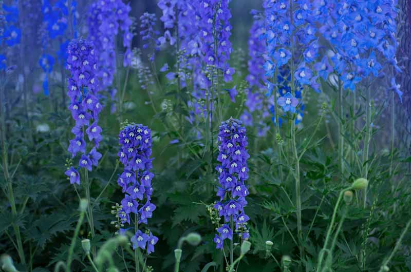 A close up horizontal image of double blue delphinium flowers blooming in the late summer garden.