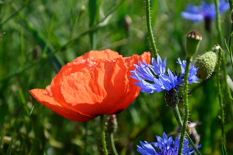 A close up horizontal image of a red poppy and blue bachelor's button flowers growing in the garden pictured on a green soft focus background.