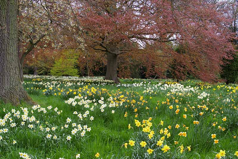 A horizontal image of a field with large trees and spring daffodils blooming underneath them.