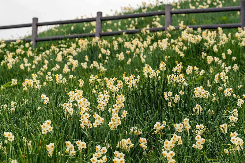 A horizontal image of a field of flowering daffodils with a wooden fence in soft focus in the background.