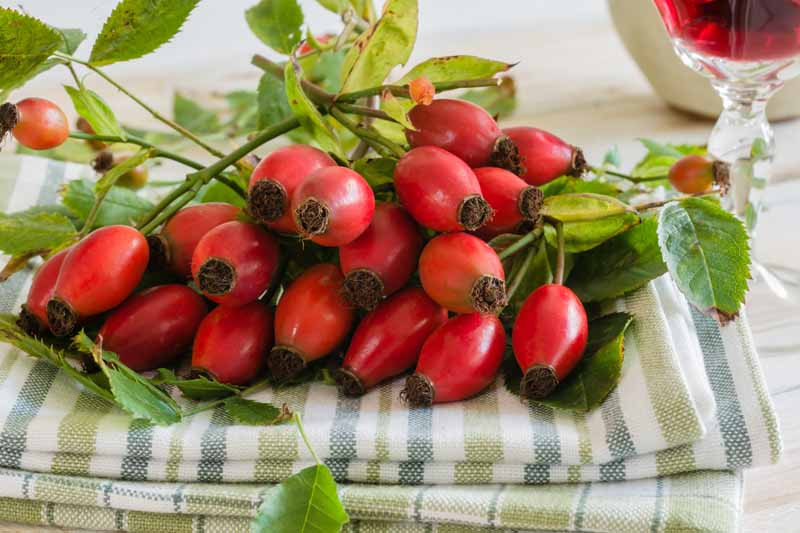A close up horizontal image of freshly harvested vibrant red rose hips with foliage still attached, set on a green and white striped fabric, with a glass of red liquid in the background.
