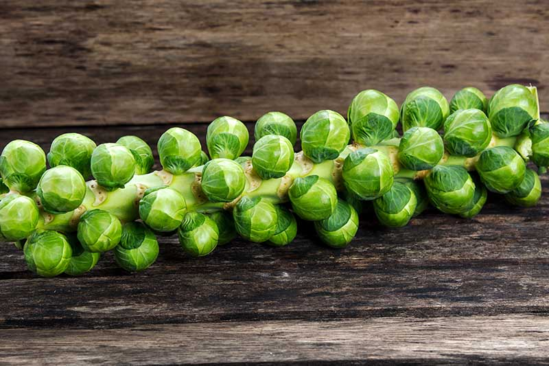 A close up horizontal image of a stalk of brussels sprouts freshly harvested with the foliage removed set on a wooden surface.