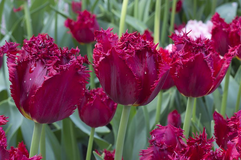 A close up horizontal picture of deep red Fringed tulips growing in the garden with foliage in soft focus in the background.