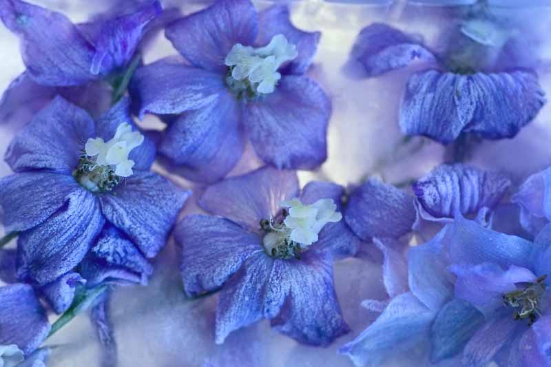 A close up horizontal image of blue delphinium flowers covered in ice during the winter pictured on a soft focus background.