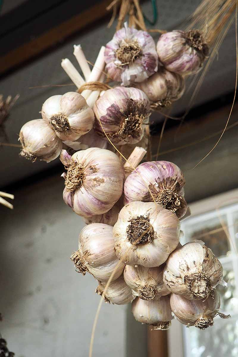 A close up vertical picture of homegrown softneck garlic cloves braided together by their stalks hanging outside a home.