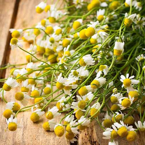 A close up square image of freshly harvested German chamomile flowers set on a wooden surface.